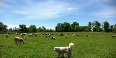AE Breeding & Natural Meats dog in pasture.jpg
