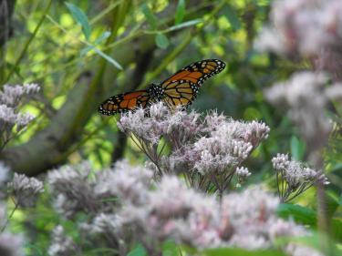 MonarchButterfly_JoePye_Jul29-2012.JPG