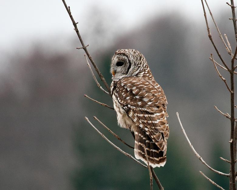 hoot &Howl_lemoine-point-owl-in-tree.jpg